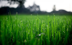 A closeup photo of green grass in a field for SSDN members Mississippi